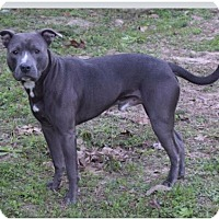 American Pit Bull Terrier Mix Dog for adoption in Tallahassee, Florida - Smokey