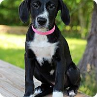 Adopt A Pet :: Carrot - Waldorf, MD