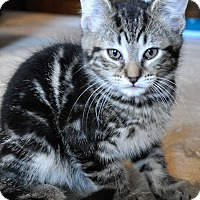 Adopt A Pet :: Tiger 2 - Farmington Hills, MI