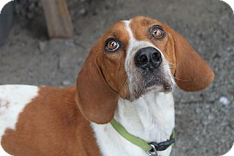 Hound (Unknown Type) Mix Dog for adoption in Oakland, Arkansas - Nanny