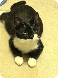 Domestic Shorthair Cat for adoption in Philadelphia, Pennsylvania - Fruitcake