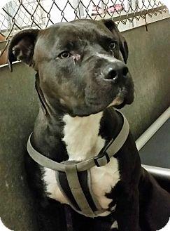 Bulldog Mix Dog for adoption in Fort Madison, Iowa - Bronx