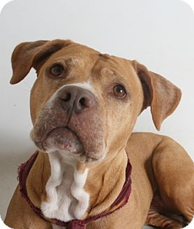 Pit Bull Terrier Mix Dog for adoption in Redding, California - Kendra