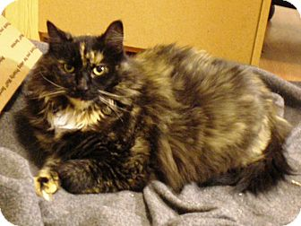 Domestic Longhair Cat for adoption in North Branch, Michigan - Diva