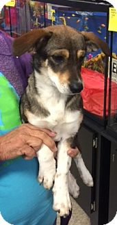 Beagle/Dachshund Mix Puppy for adoption in Powder Springs, Georgia - Shea