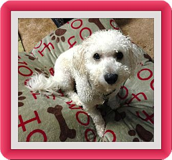 Bichon Frise Dog for adoption in Tulsa, Oklahoma - Adopted!!Alfie - KY
