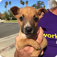 Adopt A Pet :: Baby Noel, Puppy Waits for You - Corona, CA