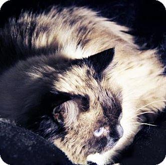 Ragdoll Cat for adoption in Roseville, Minnesota - Teddy