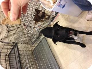 Labrador Retriever/Border Collie Mix Dog for adoption in selden, New York - Duke