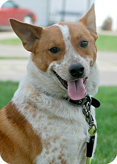 Australian Cattle Dog Dog for adoption in Delano, Minnesota - Ace