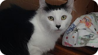 Domestic Longhair Cat for adoption in La Canada Flintridge, California - Beatrix