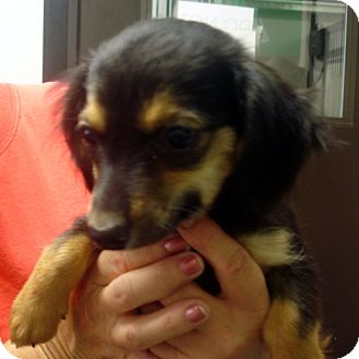Dachshund/Cocker Spaniel Mix Puppy for adoption in baltimore, Maryland - Randi