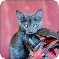 Adopt A Pet :: Blue - Ft. Lauderdale, FL