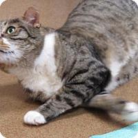 Domestic Shorthair Cat for adoption in Santa Monica, California - Finn (Most Friendly EVER!)