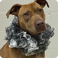 Adopt A Pet :: Big Red - Charlemont, MA
