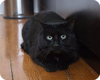 Domestic Shorthair Cat for adoption in Winnipeg, Manitoba - Vayda