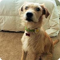 Adopt A Pet :: Bryanna - Encino, CA