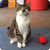 Domestic Shorthair Cat for adoption in Transfer, Pennsylvania - Greta