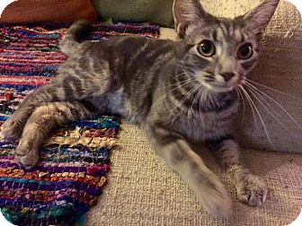 Domestic Shorthair Cat for adoption in Columbus, Indiana - Jupiter