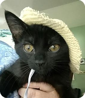 Domestic Shorthair Cat for adoption in St. Louis, Missouri - Kuduko