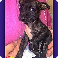 Adopt A Pet :: Ratatouille - Salisbury, NC