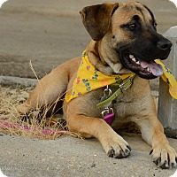 Adopt A Pet :: Shep - Muldrow, OK