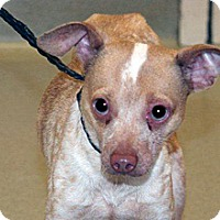 Chihuahua Mix Dog for adoption in Wildomar, California - Merv