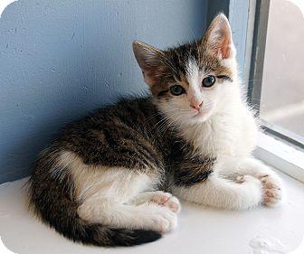 Domestic Mediumhair Kitten for adoption in Maynardville, Tennessee - Cookie