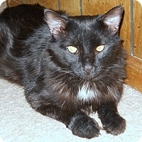 Maine Coon Cat for adoption in Statesville, North Carolina - Ebony