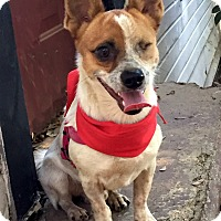Jack Russell Terrier/Corgi Mix Dog for adoption in Dalton, Georgia - Captain Jack (CJ)