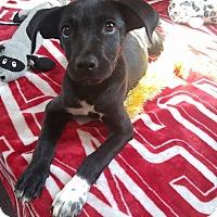 Adopt A Pet :: Sara Bell - Earlville, NY