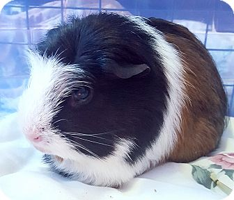 Guinea Pig for adoption in St. Paul, Minnesota - Lupita