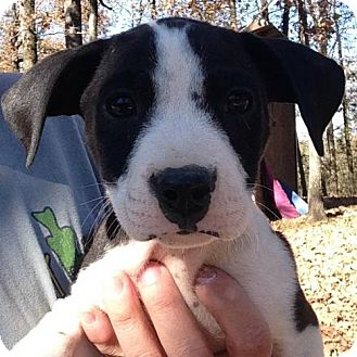 Labrador Retriever Mix Puppy for adoption in Boston, Massachusetts - Flora