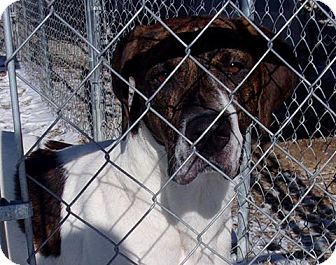 Great Dane/Hound (Unknown Type) Mix Dog for adoption in Jamestown, Tennessee - Dyson