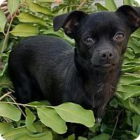 Adopt A Pet :: Ollie - Monrovia, CA