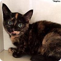 Adopt A Pet :: Angelica - Key Largo, FL