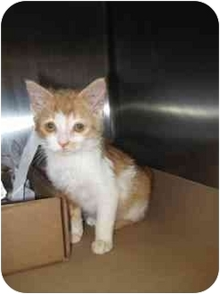Domestic Mediumhair Cat for adoption in Simms, Texas - Sophie