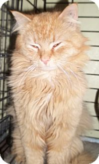Domestic Longhair Cat for adoption in Acme, Pennsylvania - Bullet