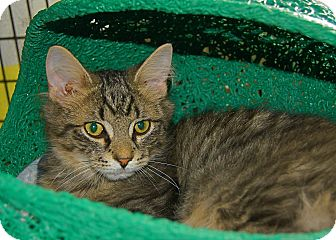 Domestic Mediumhair Kitten for adoption in Victor, New York - Cliff
