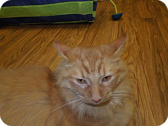 Maine Coon Cat for adoption in Medina, Ohio - Garfield