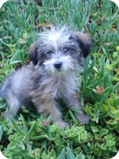 Havanese Puppy for adoption in Irvine, California - GIGI