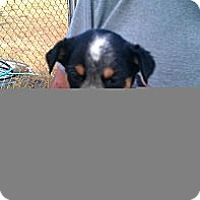 Adopt A Pet :: Sadie - Conway, AR
