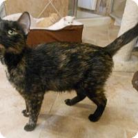 Adopt A Pet :: Beyonce - Reston, VA