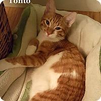 Adopt A Pet :: Tonto - Bentonville, AR