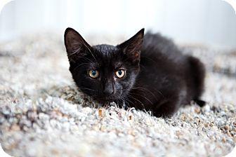American Shorthair Kitten for adoption in Jacksonville, Florida - Sasha