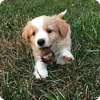 Adopt A Pet :: Sadie's Clyde - Potomac, MD