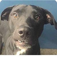 Adopt A Pet :: Bruno - Springdale, AR