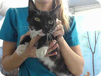 Domestic Shorthair Cat for adoption in San Bernardino, California - URGENT on 9/9 San Bernardino