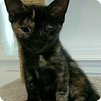Adopt A Pet :: Pebbles - Livonia, MI