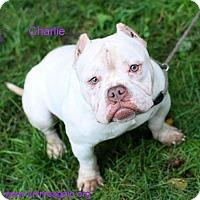 Adopt A Pet :: Charlie - Bloomington, MN